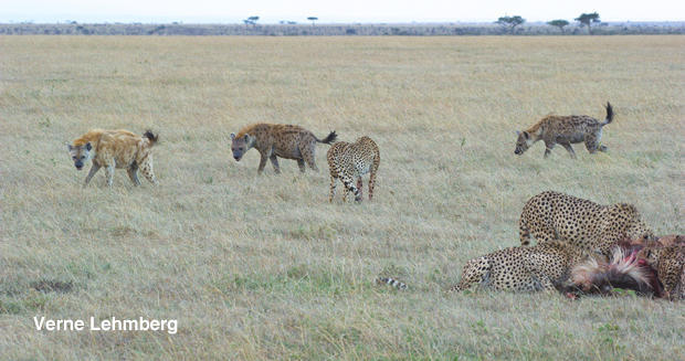 cheetah-and-hyaenas-4-verne-lehmberg-620.jpg