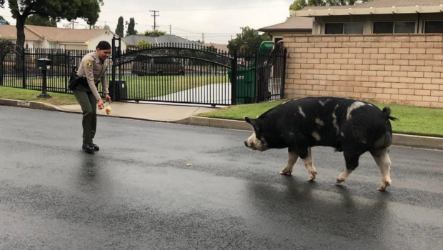 This giant pig was lured back home with Doritos.                        San Bernardino County Sheriff's Department