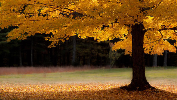 A single solitary golden maple tree