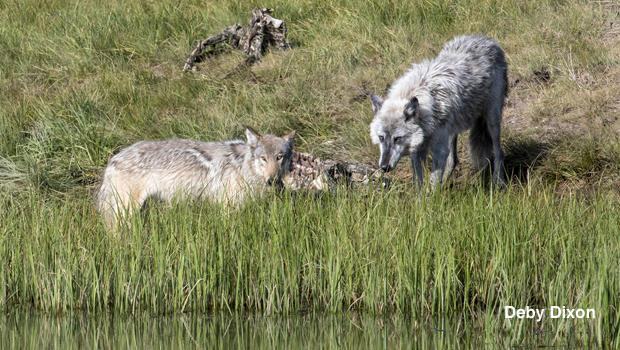 755-with-his-daughter-1091-at-the-bison-carcass-by-deby-dixon-620.jpg
