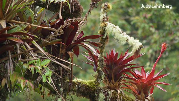 costa-rica-bromeliads-mosses-and-lichens-judy-lehmberg-620.jpg