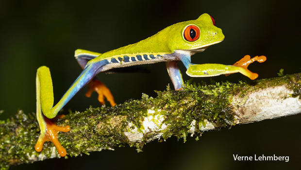 costa-rica-red-eyed-tree-frog-strolling-along-a-small-tree-branch-verne-lehmberg-620.jpg