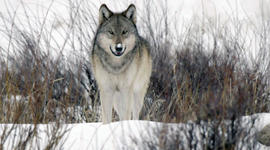 The return of wolves to Yellowstone Park