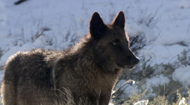 """Well-known wolf """"Spitfire"""" killed outside Yellowstone"""