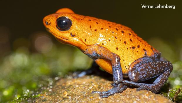 strawberry-frog-poison-dart-frog-verne-lehmberg-620.jpg