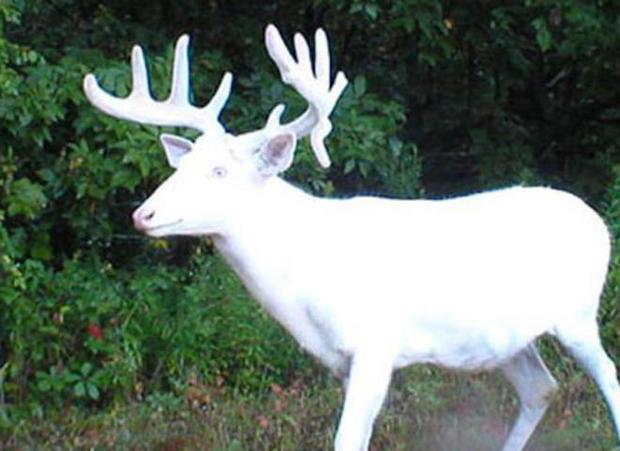 white-deer-stag-carl-mrozek-660.jpg