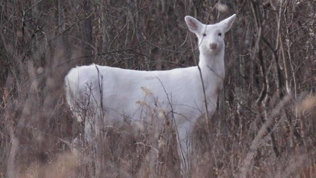 white-deer-carl-mrozek-b-620.jpg