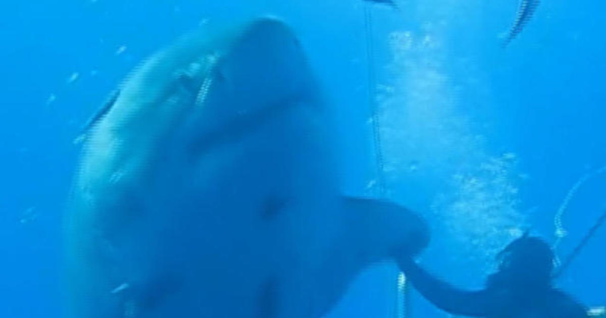 """Great white shark """"Deep Blue,"""" thought to be world's biggest, seen off Hawaii"""