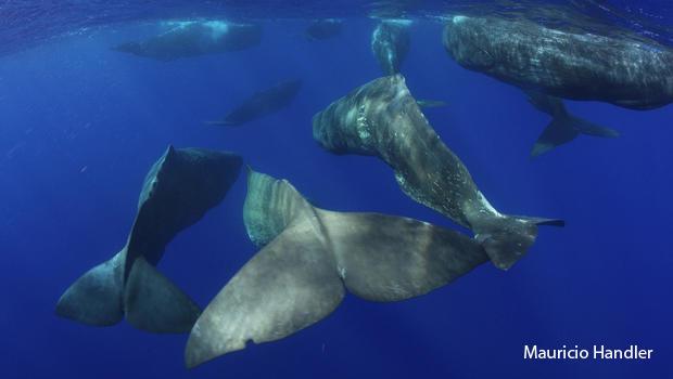 sperm-whales-tails-mauricio-handler-aquaterrafilms-3-620.jpg
