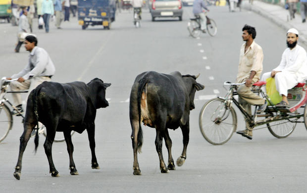 """TO GO WITH """"INDIA-ANIMALS-CATTLE"""" In thi"""