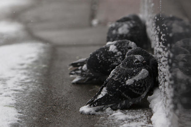 Pigeons huddle together in the snow during a winter storm in Buffalo, NY