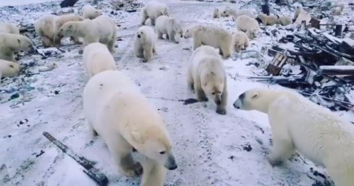 "Imagenes De Osos Polares: Russia Polar Bear ""invasion"" In Novaya Zemlya Sparks"