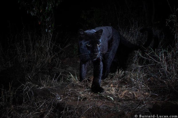 willbl-black-leopard-1.jpg