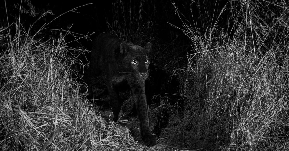 ea302a6dd9c African black leopard: Rare black panther captured in stunning photos from  Kenya in Africa - CBS News