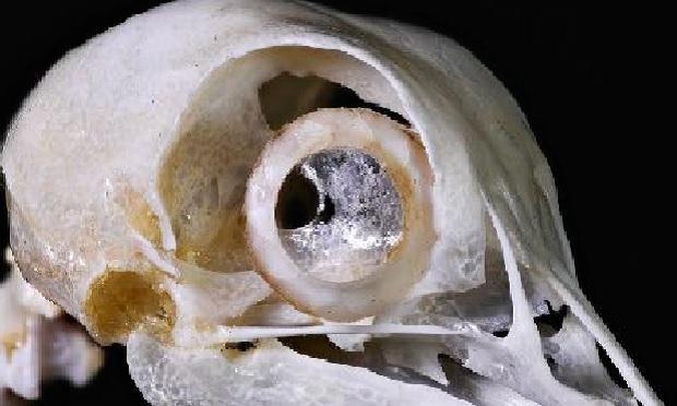 pigeons-eye-bone-sclerotic-ring-verne-lehmberg-620.jpg