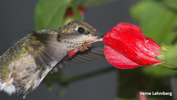 female-ruby-throated-hummingbird-pollen-verne-lehmberg-620.jpg