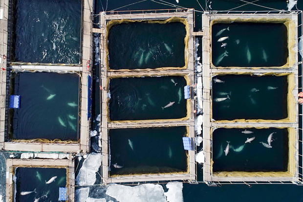Captive orcas and belugas in Russian Far East