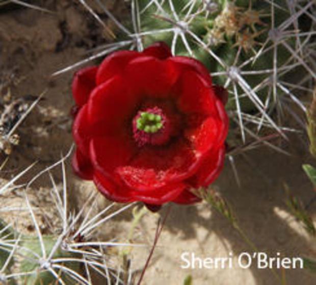 claretcup-cactus-sherri.jpg