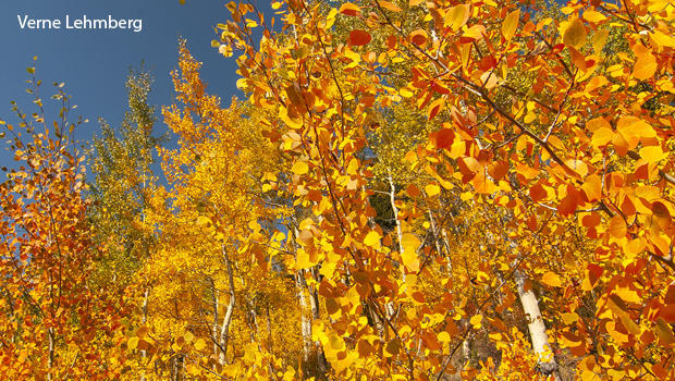 grand-canyon-a-grove-of-aspens-in-the-fall-boreal-forest-verne-lehmberg-620.jpg