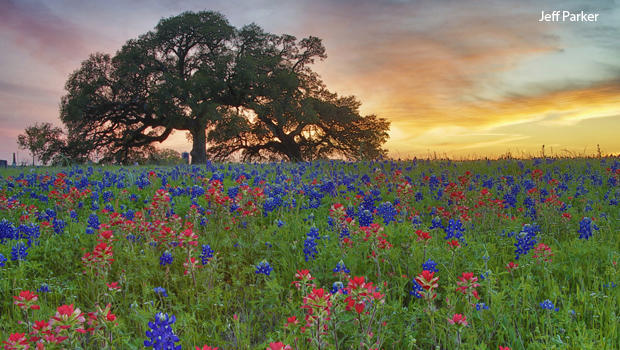 field-of-bluebonnets-surrounded-by-indian-paintbrush-at-sunset-jeff-parker-620.jpg
