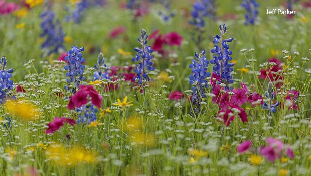 roadside-bluebonnets-phlox-daisies-and-lambs-lettuce-jeff-parker-620.jpg