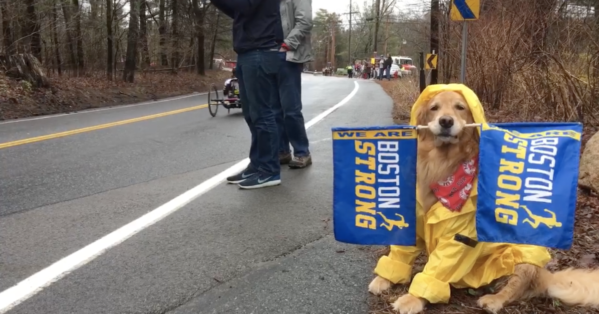 Therapy dog named Spencer back on the Boston Marathon trail to cheer on runners