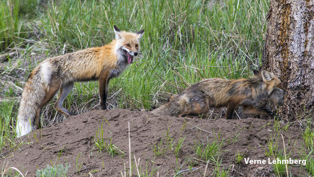 male-fox-brings-ground-squirrels-to-his-mate-620.jpg