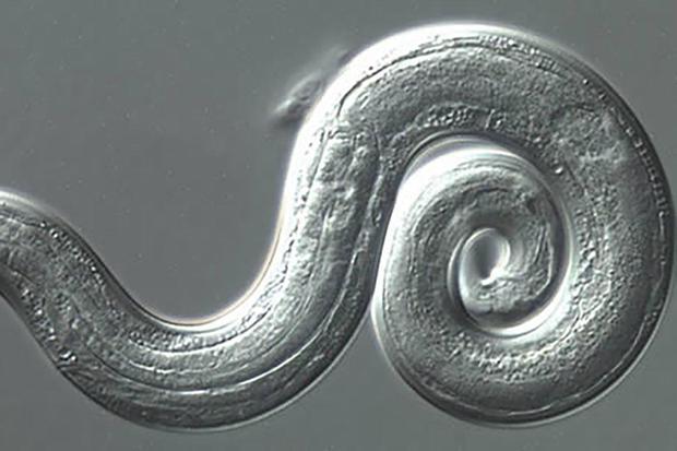 rat-lungworm.jpg