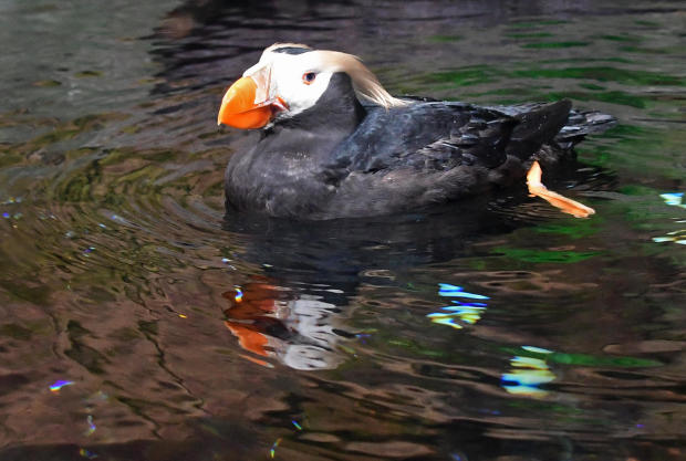 US-ENVIRONMENT-TUFTED-PUFFIN