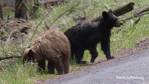 cinnamon-and-black-bear-cubs-verne-lehmberg.jpg