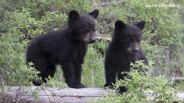 Nature up close: Grizzlies and black bears