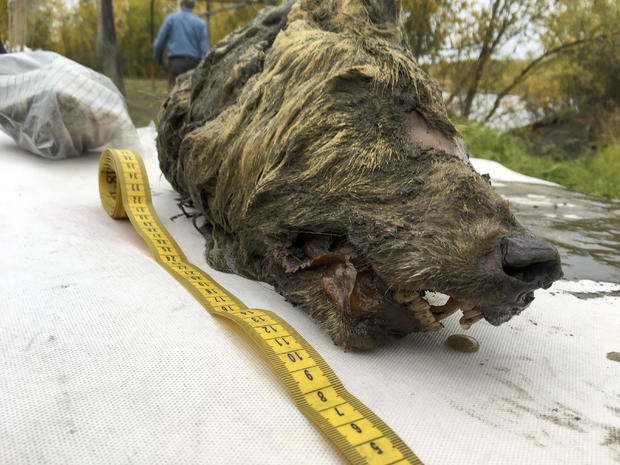Russia Ice Age Wolf