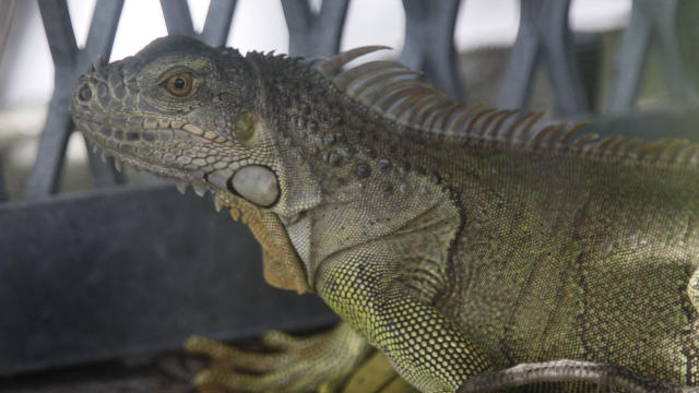 Florida Fish And Wildlife Commission Tries To Curb Iguana Population