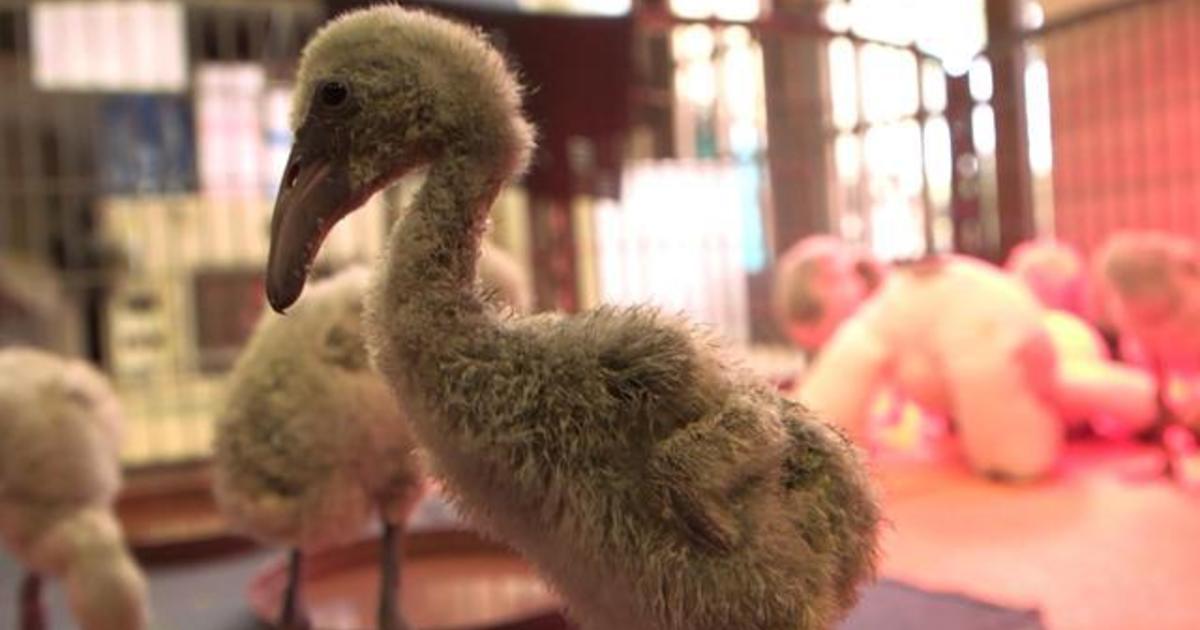 Dallas Zoo specialists travel to South Africa to save baby flamingos