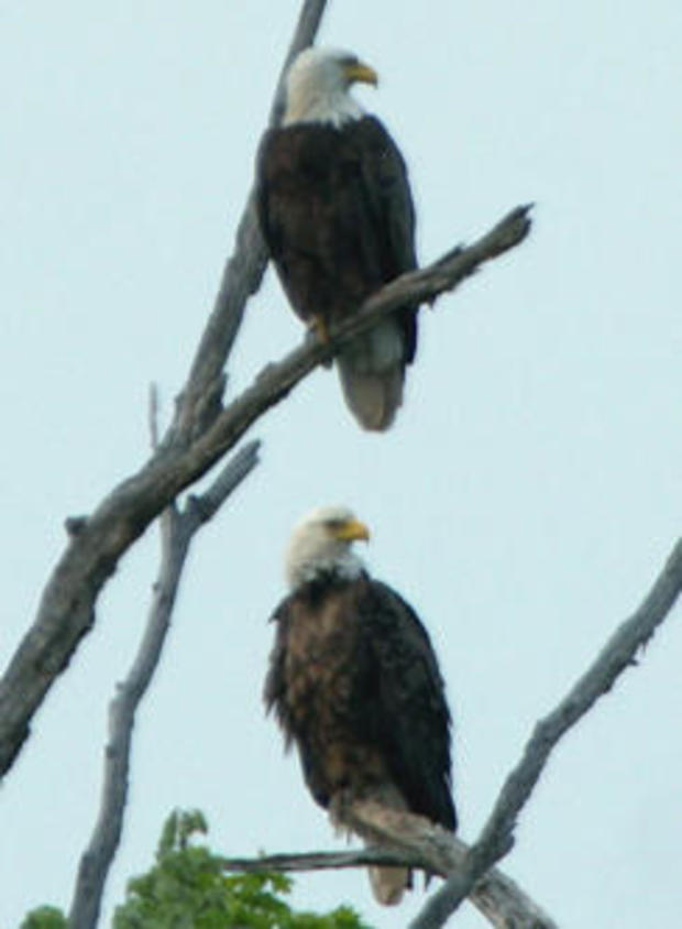 bald-eagles-carl-mrozek-244.jpg