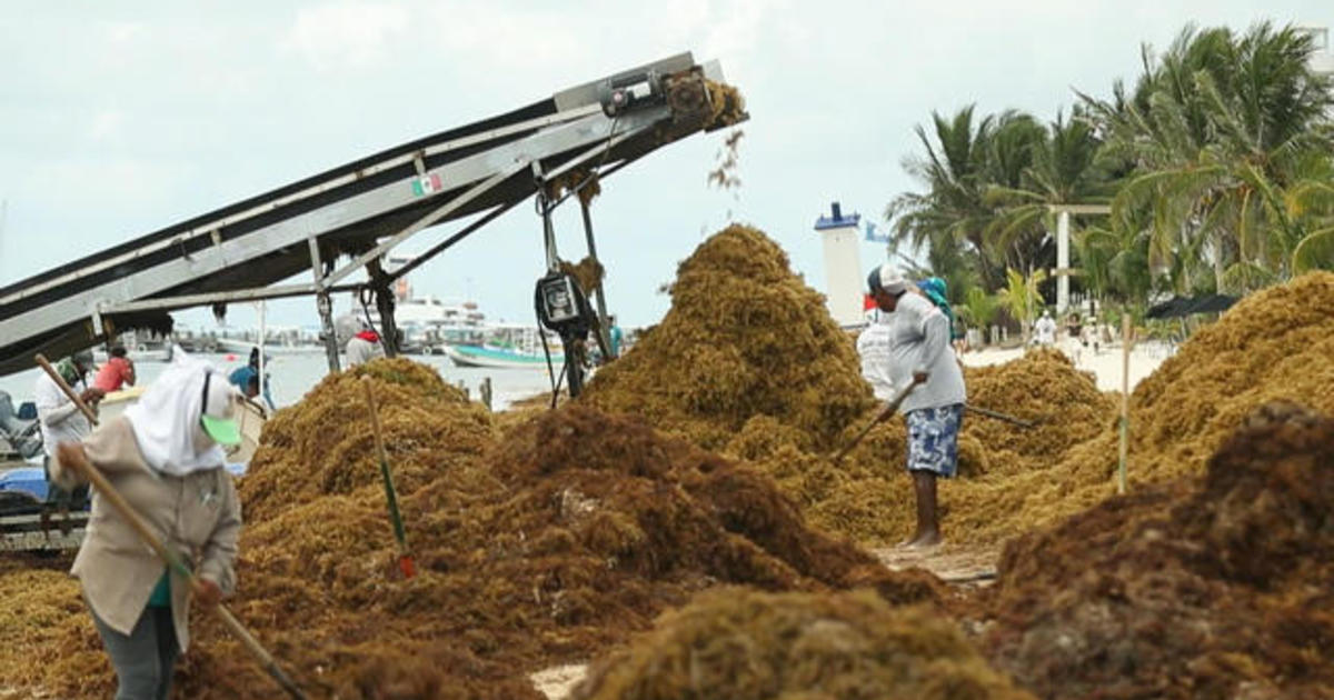 Massive waves of toxic seaweed inundate Yucatan Peninsula beaches