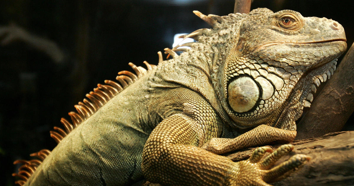 Weather service issues alert for falling iguanas in Florida