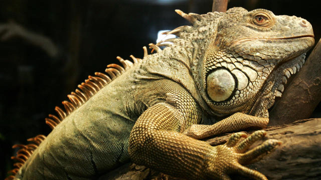 A live green iguana sits on a tree branc
