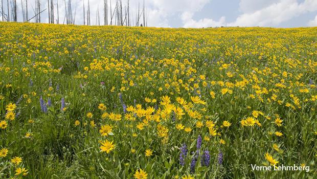 prairie-wildflowers-mules-ears-and-lupines-verne-lehmberg-620.jpg