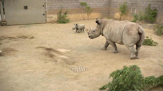 blackstone-baby-rhino-update-frame-32.jpg