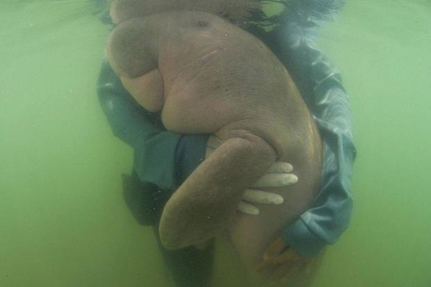 Dugong: Rescued baby dugong dies of shock with a stomach full of plastic in Thailand