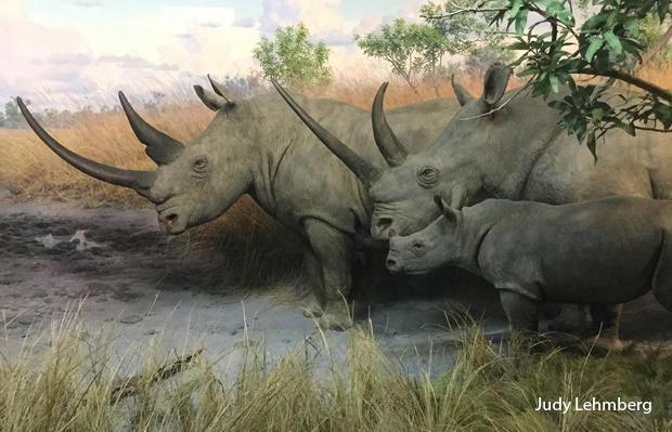 rhinos-amnh-judy-lehmberg-620.jpg