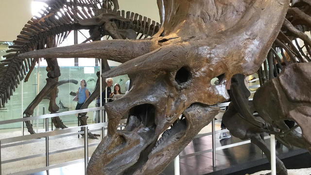 triceratops-at-american-museum-of-natural-history-judy-lehmberg.jpg