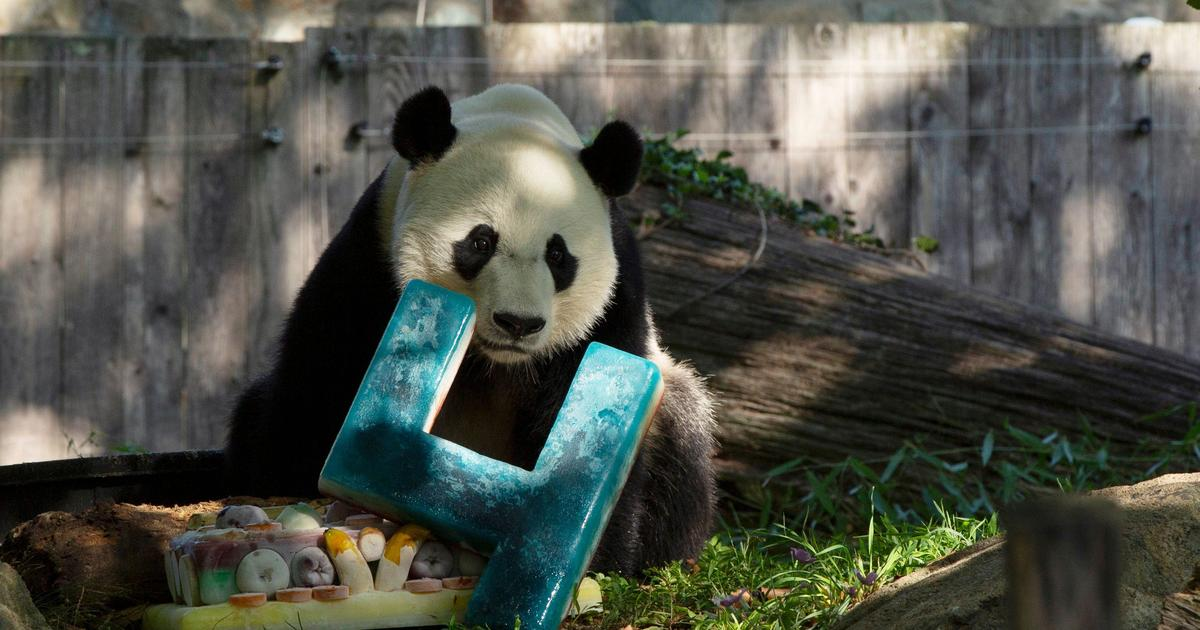 Bei Bei the giant panda celebrates last birthday at National Zoo before China move