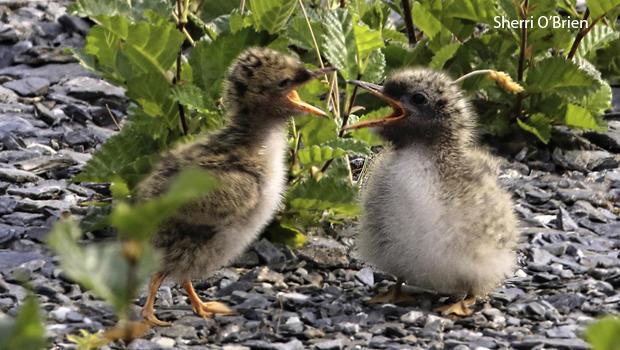 arctic-tern-chicks-sherri-obrien-620.jpg
