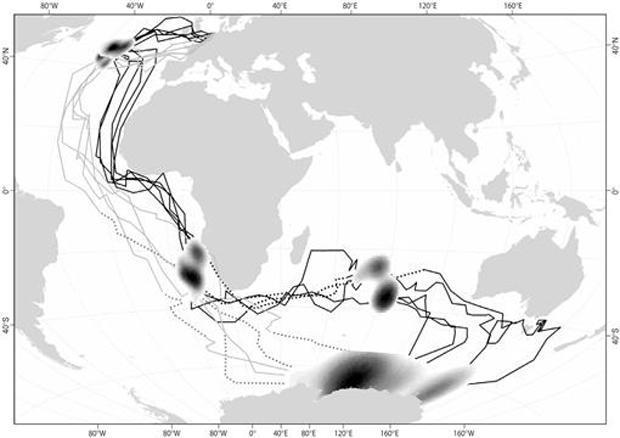 map-arctic-tern-migration-ardea-620-tall.jpg