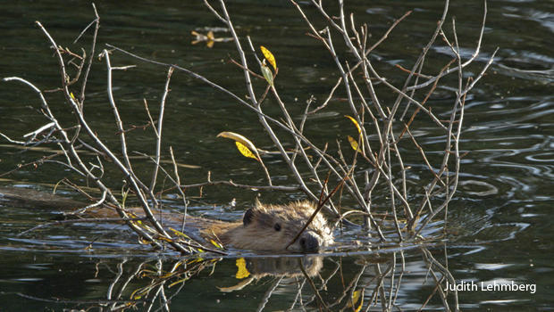 beaver-carrying-willow-branch-upstream-judith-lehmberg-620.jpg