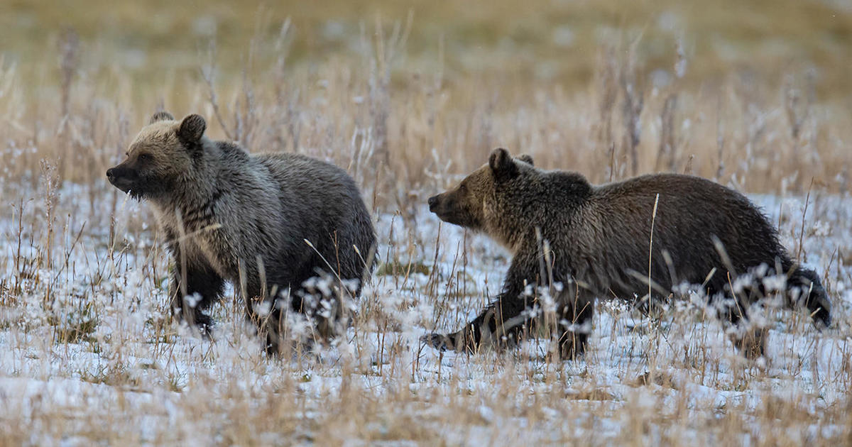 Nature up close: How an insect is key to grizzly bears' survival