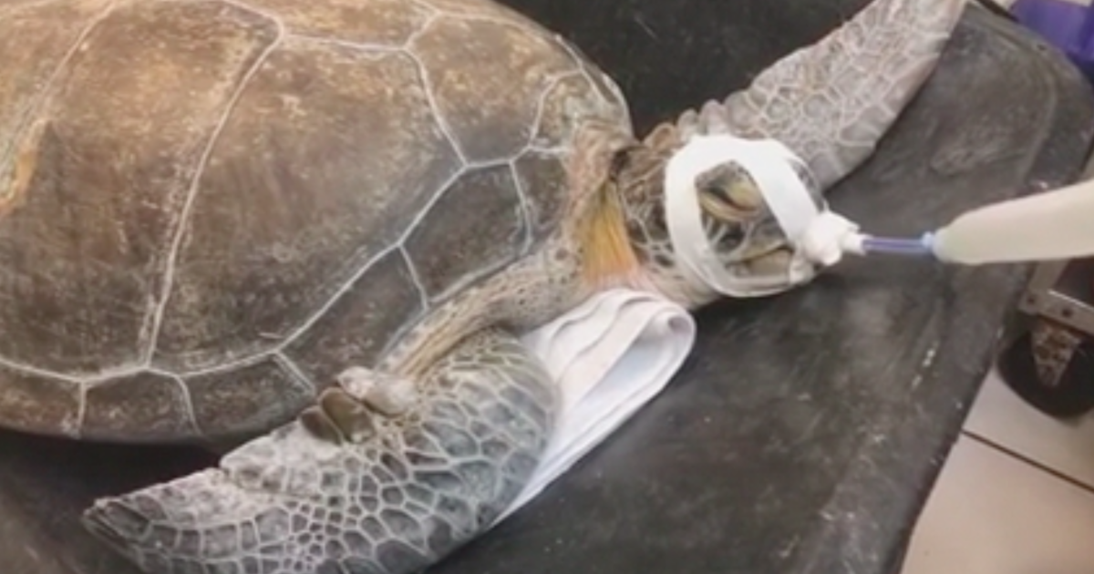 Endangered sea turtle found impaled with 3-foot long spear in Florida