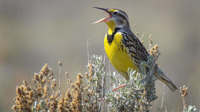 Meadowlark squawking while standing on a pole